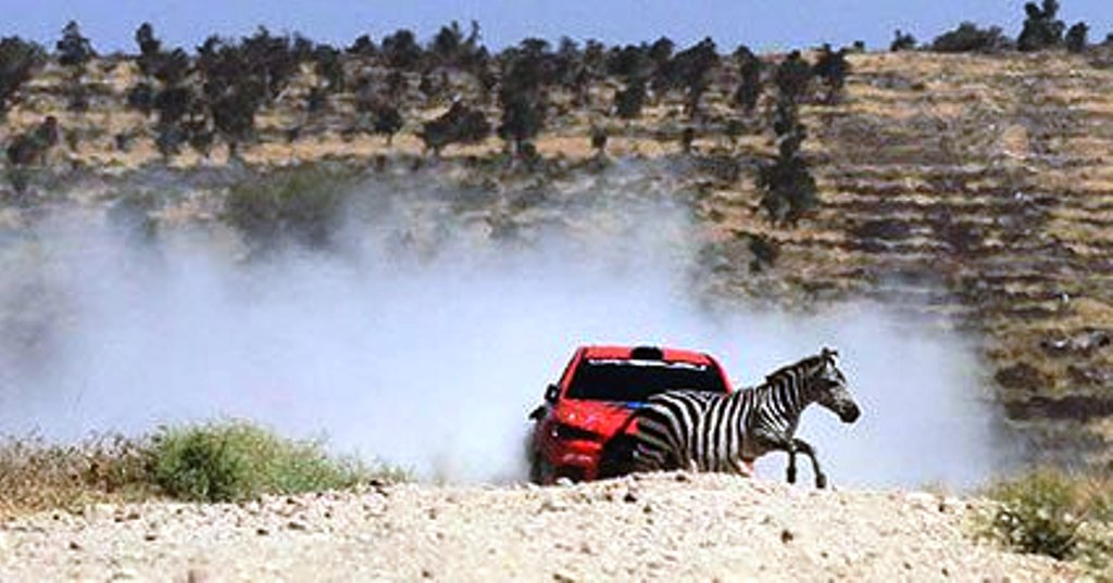 Jasmeet Ravi in a Mitsubishi Evo10 contends with a zebra crossing the road at Lisa Stage in Konza during the weekend's Kajiado Rally, a Kenya National Rally Championship event round won by past champion Baldev Chager also in a Mitsubish Evo 10